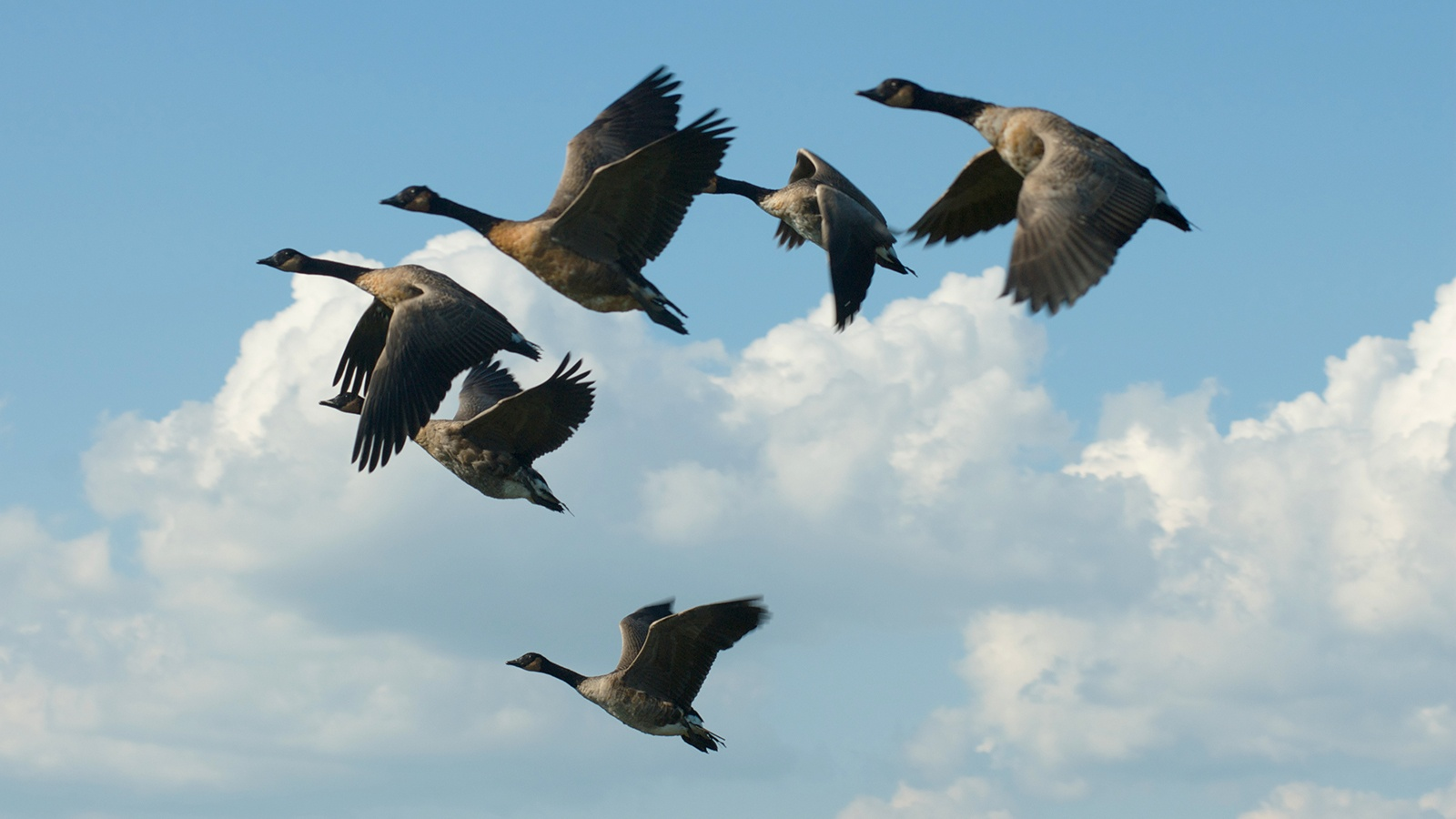 Goose gander cloud.jpg
